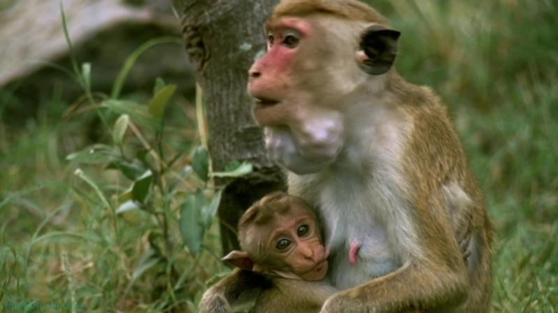 BBC «Жизнь млекопитающих (09). Карьеристы» (Познавательный, природа, 2003)