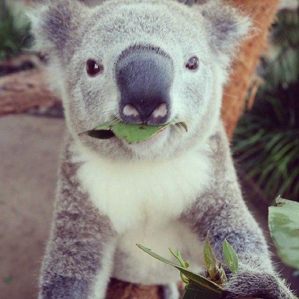 Коал из сиднейского зоопарка научили делать селфи Компания Sony предоставила зоопарку в Сиднее несколько камер QX, при помощи которых коалы могут сами себя фотографировать. Об этом сообщила Daily Mail. P.S. Даже Коала фотогеничней тебя