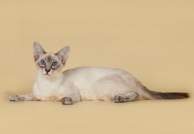 Та харчування балінезійської кішки
