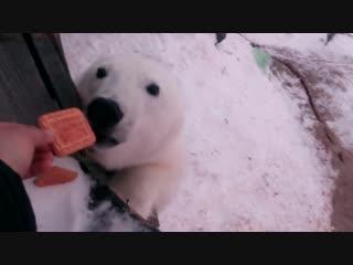 Это Россия детка! Кормление белого медведя печеньками