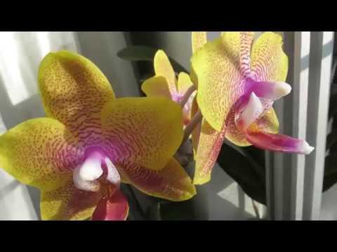Орхидеи после зимы. Потери,что не зацвело.Отдаю орхидеи. Обзор
