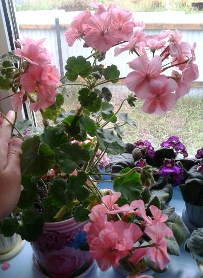 Цветы у Ликки 7LMZYDKKjrg