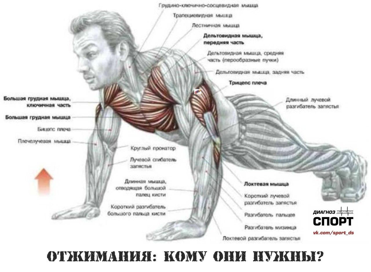 Мышцы груди упражнения 8 фотография