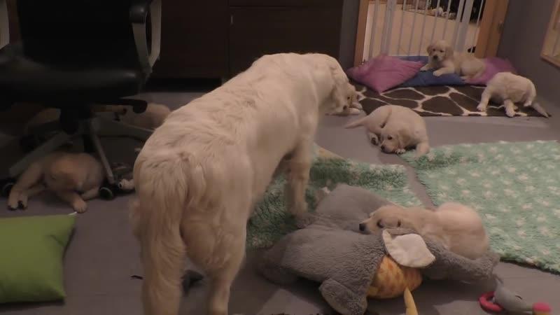 Как опытная собака мама приучает свое голодное потомство к дисциплине