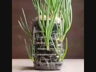 Зелёный лук можно выращивать этим методом и зимой