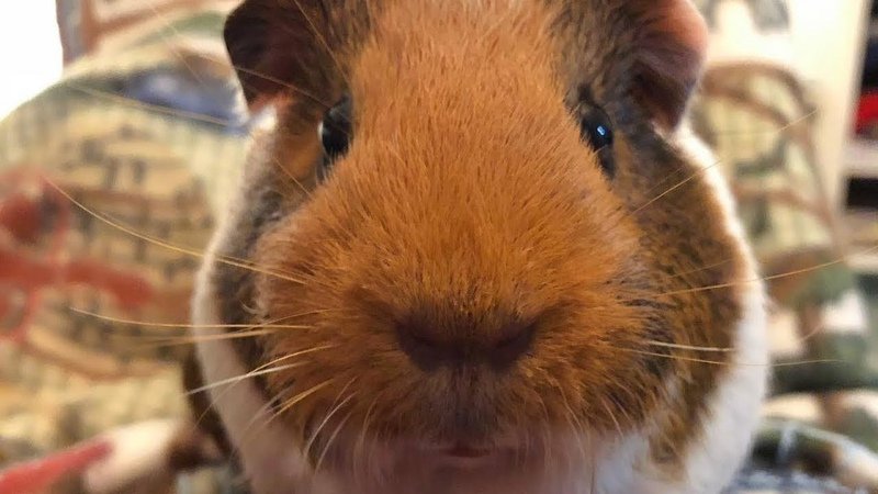 Baby Guinea Pigs Videos Compilation cute moment of the guinea pig - Baby Guinea Pigs 4