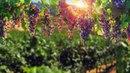 Vineyard - video background loop full HD