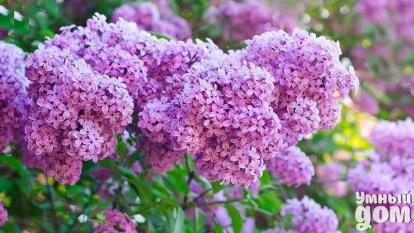 Кустарники сада Многие любители сада недооценивают роль кустарников в украшении сада. Красивые цветущие кустарники могут быть настоящим украшением вашего сада. Неприхотливые в уходе, они требуют мало внимания, но с достоинством могут лидировать по своей красоте со многими растениями. Посадка декоративных кустарников Декоративные кустарники в ландшафтном дизайне. Трудно себе представить стильный ландшафтный дизайн сада без таких цветущих кустарников, как роза, сирень, гортензия метельчатая,…