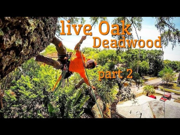 (Raw)The one job where i dead-wooded a Live oak. part 2 final.