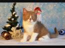 Купить британского котенка Glorious Lotus SAMPSON