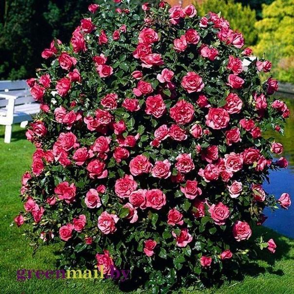 полиантовые розы непрерывное цветение! обильно цветущие и неприхотливые в уходе полиантовые розы отличный вариант для владельцев небольших участков. этими цветами можно украсить практически