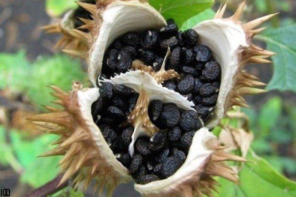 На Аравийском полуострове и в Юго - Западной Азии есть растение, которое называю...