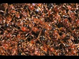 MICHEL JONASZ - Les fourmis rouges (Version non censur