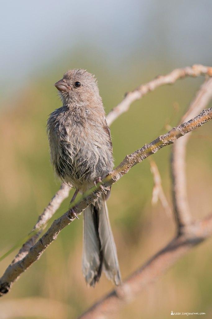 птицы Челябинска, урагус
