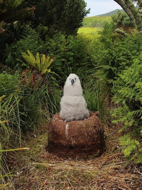 Птенец альбатроса сидит в своём гнезде