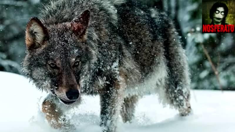 История о волке и волчице стихотворение