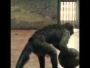 Обезьянка с человеческим лицом открывает кокос голыми руками