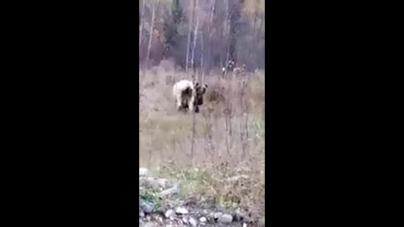 По дороге в лагерь Орленок(Юлдаш).В Сибае.Медведь грызет корову