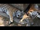 Тигриная идиллия в Тайгане Tigers
