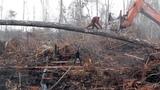 Орангутан пытается бороться с разрушением среды обитания, бульдозером!