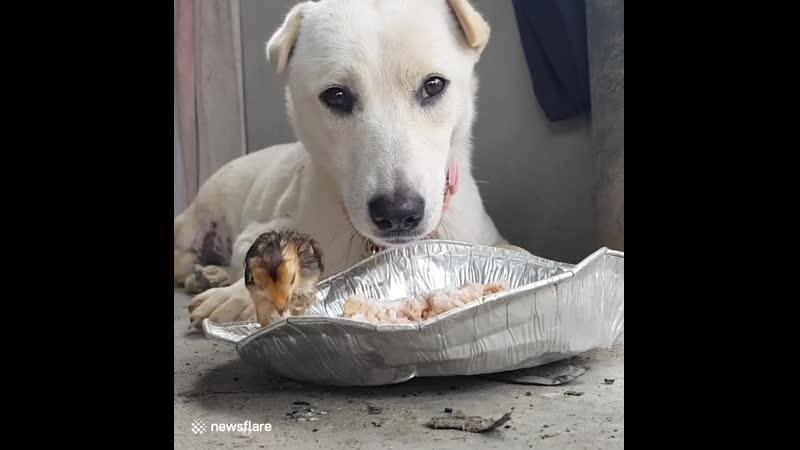 Этот трогательный момент когда собака ест из одной миски с голодным цыплёнком и оба довольны друг другом