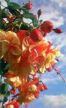 Цветок фуксия относится к семейству кипрейных.  Родина растения фуксия Центральная и Южная Америка.