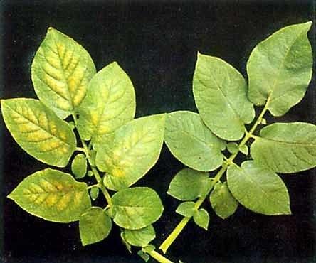 Признаки минерального голодания растений.