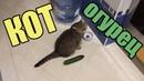 КОТЫ И ОГУРЦЫ Коты боятся огурцов САМАЯ ЛУЧШАЯ ПОДБОРКА