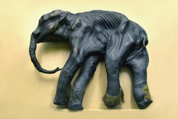 История мамонтёнка Димы. Найден он был в июне 1977 года в бассейне реки Колымы (Сусуманский район, Магаданская область) на глубине 2 метров. Тело мамонтёнка имеет рост 104 см и массу около 90