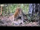 Национальный парк Крюгера, Южная Африка. Спаривание Леопардов - Leopards Mating