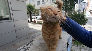 Ginger cat is so lovely she wants love and food