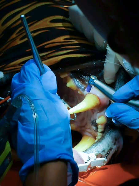 Врачи помогли большой кошке справиться со стоматологической проблемой. В 2013 году полиция конфисковала из частного владения на итальянской ферме шестилетнюю тигрицу по кличке Кара. В 2015 году