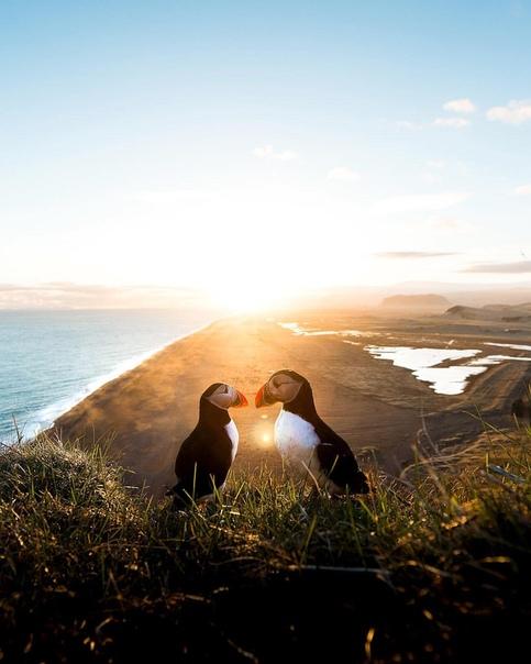 Атлантические тупики (Исландия)