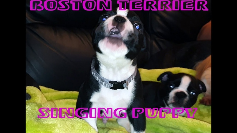 Cute Boston Terrier puppy sings Imagine Dragons Demons song So funny