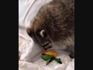 Видео для тех, кто хочет енота