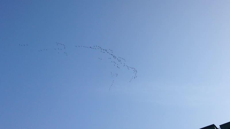 Перелётные птицы над ЖК Земляничная поляна.