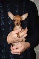 Смотря какой карман :-) Название карманная собачка довольно условно.  Дарья Макухина.