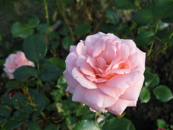 Розы из моего сада на даче.