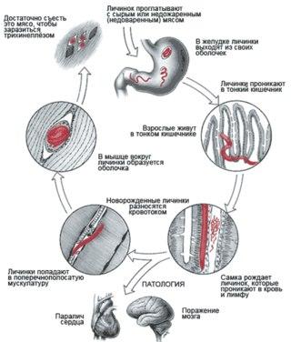 в мышцах и покрываются
