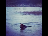 Собака, которая любит купаться )