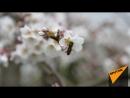 Пчелки труженицы