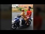 Собака за рулем скутера