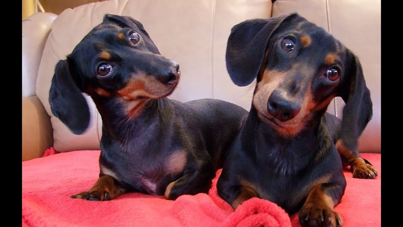 Dachshund Dog Breed Amazing Facts