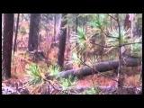 Профессиональная охота в западной сибири с гибридом волка и лайки