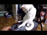 Кошка настырно закрывает крышку!