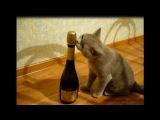 Кошка лижет бутылку шампанского! ХИТ!