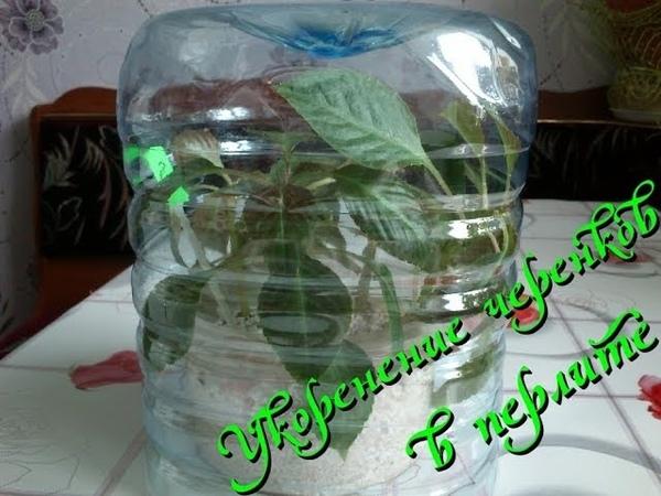 Укоренение черенков комнатных растений в перлите