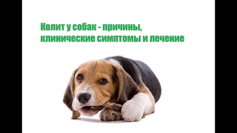 Колит у собак причины клинические симптомы и лечение