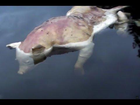 В США найден жуткий мутант-утопленник с телом свиньи и человеческими руками