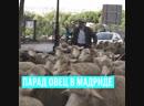 Парад овец в Мадриде